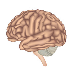 Human brain isolated brain lateral view anatomy vector