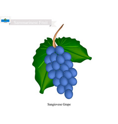 Ripe grape popular fruit in yemen vector