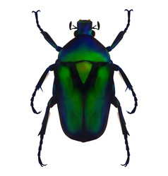 Flower chafer vector