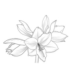 Lilly amaryllis hippeastrum blooming flower object vector