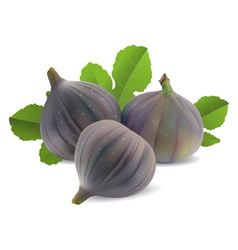 fresh figs vector image