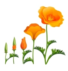 Poppy ascending order or stages of growth vector