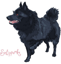 Color sketch black dog schipperke breed vector