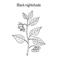 European black nightshade solanum nigrum or duscle vector