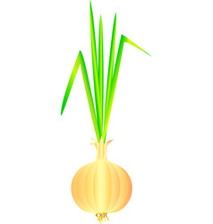 onion bulb vector image vector image