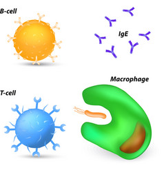 T cell b cell vector