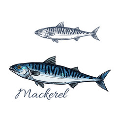 Mackerel sea fish sketch for seafood design vector