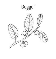 best ayurvedic plant guggul commiphora wightii vector image vector image
