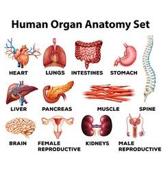Human organ anatomy set vector image