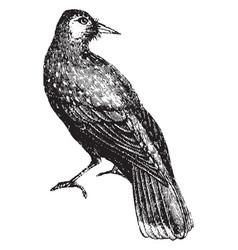 Nut cracker crow vintage vector