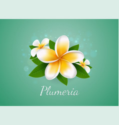 plumeria vector image vector image