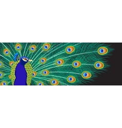 Peacock background vector