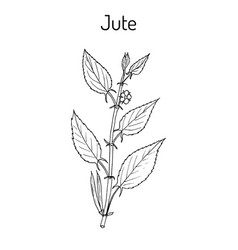 Fiber crop jute corchorus olitorius or nalta vector