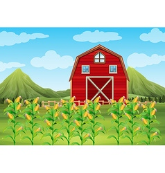 Field of corn and red barn vector