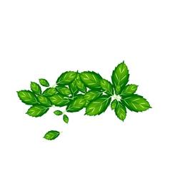 Fresh Thai Basil Leaves on White Background vector image