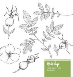 Rosehip Plant vector image vector image
