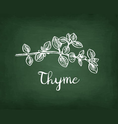 Chalk sketch of thyme vector