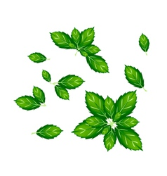 Set of thai basil leaves on white background vector