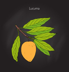 Lucuma organic superfood vector
