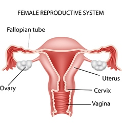 Cartoon of female reproductive system vector