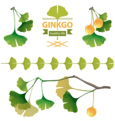 Ginkgo biloba vector image