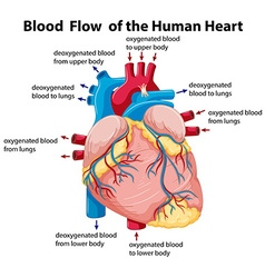 Diagram showing blood flow in human heart vector