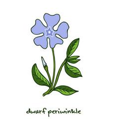 dwarf periwinkle or vinca minor vector image