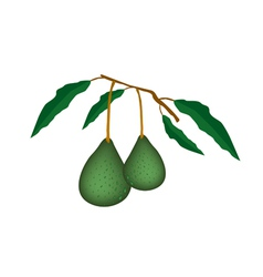 Two fresh green avocados on a branch vector