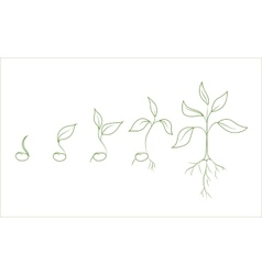 Kidney bean plant growth phases vector