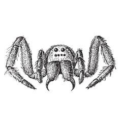 Tarantula wolf spider vintage vector