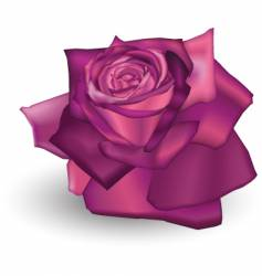 fuchsia rose vector image vector image