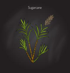 sugarcane saccharum officinarum vector image
