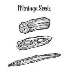 Moringa Seed vector image vector image