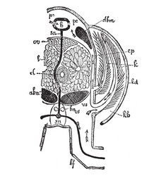 crayfish thorax vintage vector image