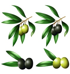 Green and black olives on branch vector