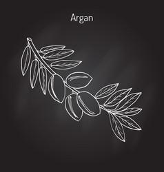 argan argania spinosa vector image