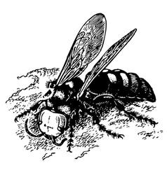 wasp scolia vector image