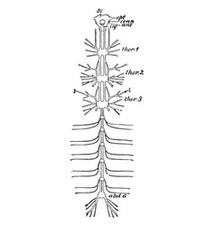Cockroach nervous system vintage vector