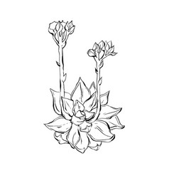 Hand drawn graphic ink sketch of succulent vector