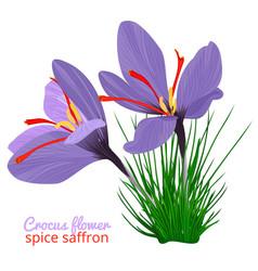 vintage card with crocus flower violet set on vector image