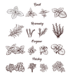 Herbs and spices set engraving for vector