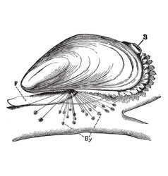 Blue mussel vintage vector