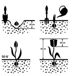 tulips grown vector image