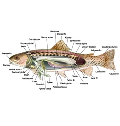 Trout anatomy vector