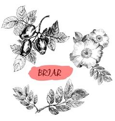 Briar wild rose vector