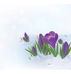 Crocuses snow vector