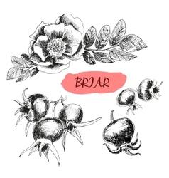 Briar Wild rose vector image vector image