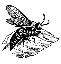 wasp dioxy scincta vector image