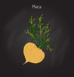 Maca lepidium meyenii peruvian superfood vector