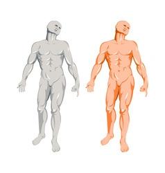 Male human anatomy standing vector